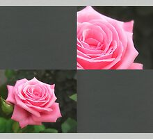 Pink Roses in Anzures 4 Blank Q6F0 by Christopher Johnson
