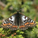 Cynthias Fritillary butterfly, Rila Mountains Bulgaria by Michael Field