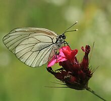 Black-Veined White Butterfly, Rila Mountains, Bulgaria by Michael Field