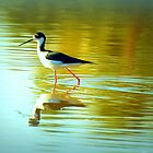 Black-necked Stilt by Diana Graves Photography