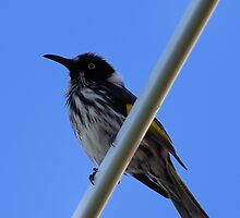 New Holland Honeyeater by Sandra Chung