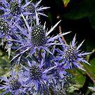 Blue Thistle (Eryngium) by ChelseaBlue