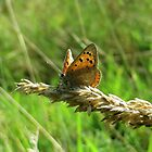 Small Copper on wheat flower by ienemien