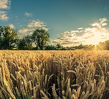 Cornfield at Sunset by Paul Lawlor
