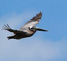 Soaring Pelican by Kenneth Keifer
