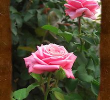 Pink Roses in Anzures 5  Blank P3F0 by Christopher Johnson