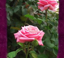 Pink Roses in Anzures 5  Blank P8F0 by Christopher Johnson
