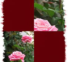 Pink Roses in Anzures 5  Blank Q10F0 by Christopher Johnson