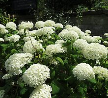 Snowballs in Summer - Sunlit White Hydrangeas by kathrynsgallery