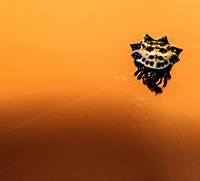 Spiny Backed Orb Weaver Spider by Thomas Eggert