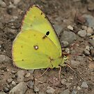 Berger's Clouded Yellow butterfly on mountain track, Bulgaria by Michael Field