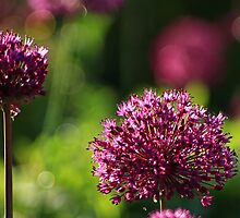 Light Beam Bokeh - Alium Flowers by rennaisance