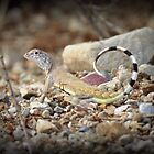 Zebra-tailed Lizard by Kimberly Chadwick