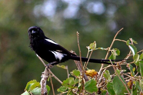 Magpie Shrike -  Urolestes melanoleucus - Terengeri NP - Tanzania by john  Lenagan