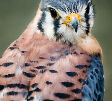 American Kestrel by Country  Pursuits