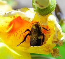 Bee In The Canna Bloom by WildestArt