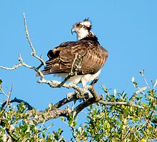 Osprey Before Taking Off from the Tree Tops by imagetj