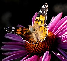 Painted Lady Butterfly by Jan  Tribe