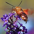 Hummingbird Moth by T.J. Martin