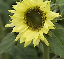 Helianthus ( Pacinno Lemon)  by Tom Curtis