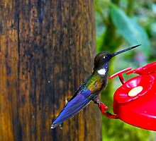 Colorful Hummingbird In Mindo by Al Bourassa