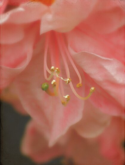 Dreamy pink by Karen  Betts