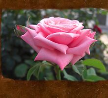 Pink Roses in Anzures 6 Blank P3F0 by Christopher Johnson