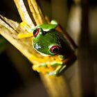 Red eyes frog by Gregorio Magno Toral Jiménez