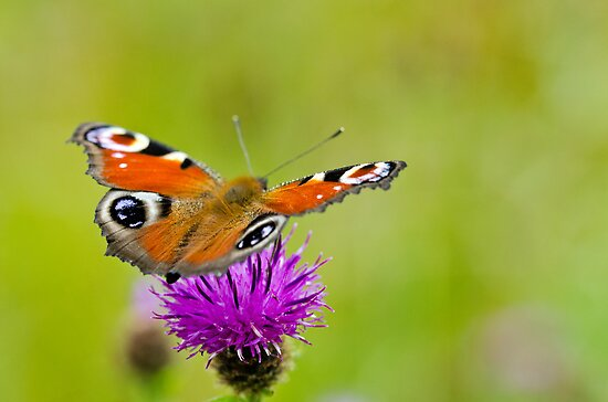 Peacock Butterfly by M.S. Photography & Art