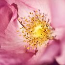 Pink Rose Flower Photographic Close Up by Natalie Kinnear