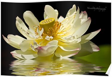 Lotus in Full Bloom by Yannik Hay