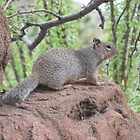 Rock Squirrel by Ingasi