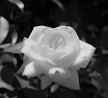 White Rose by Sotiris Filippou