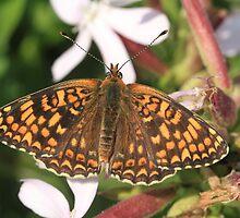 Knapweed Fritillary Butterfly, Rila Mountains, Bulgaria by Michael Field