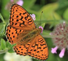 High Brown Fritillary Butterfly, Rila Mountains, Bulgaria by Michael Field