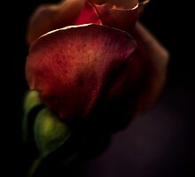 a rose getting ready for bed by alan shapiro