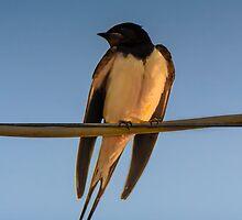 Happy Little Swallow by Sotiris Filippou