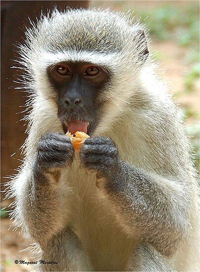 VERY NICE! Vervet Monkey, (CERCOPITHECUS PYGERYTHRUS), Blou Aap by Magaret Meintjes