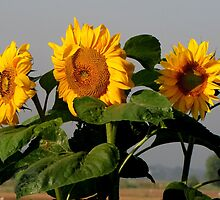 Sunflowers in the morning sun by hanslittel