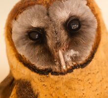 Head of an Ashy Face Barn Owl by Dave  Knowles