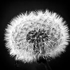 Dandelion in BW by Alex Volkoff