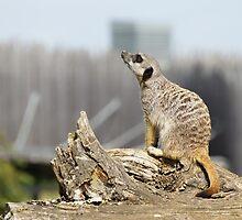 Meerkat Sniff by ouroboros888
