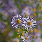 Whoopsie Daisies by photojeanic