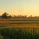 Corn Fields Aglow 2 by Tracy Friesen