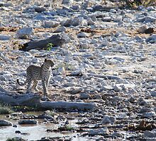 Namibian Leopard by BeckyMP