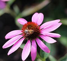 Honey Bee on Echinacea by KayEeGee