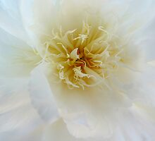 Peony Macro flower photography by jemvistaprint