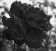 Red Rose Edges B&W by Christopher Johnson