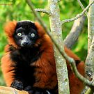 Red-ruffed lemur 2 by Gary Power