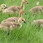 Gaggle of Canada Geese Goslings by rhamm